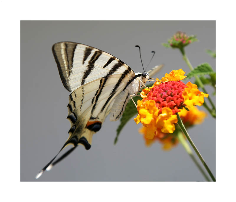 VE - Old World Swallowtail by Suppi-lu-liuma
