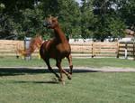 Chestnut Arabian 13