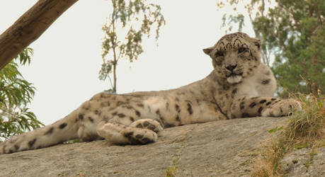 snow leopard on guard by akilight