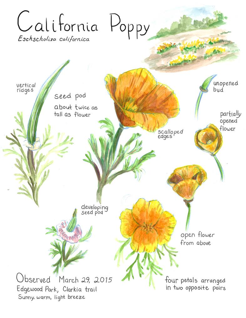 Field Study: California Poppy by SeeWoods