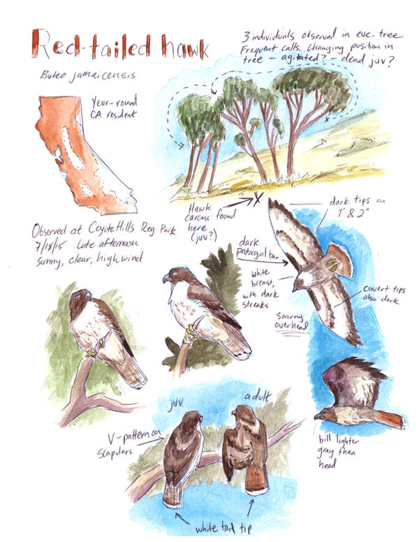 Field Study: Red-tailed Hawk by SeeWoods