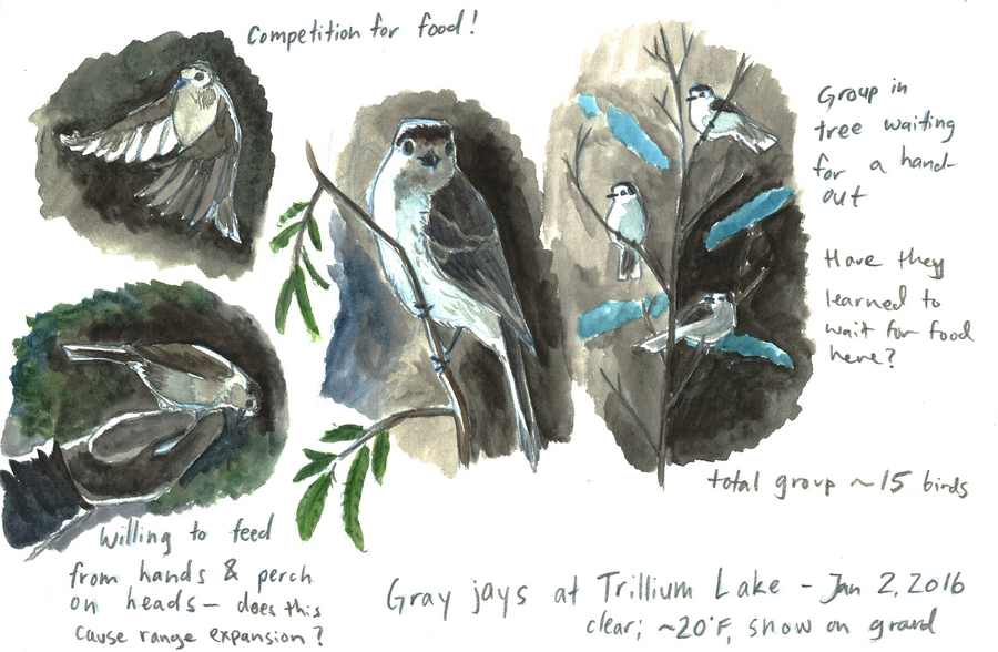 Gray Jays at Trillium Lake by SeeWoods
