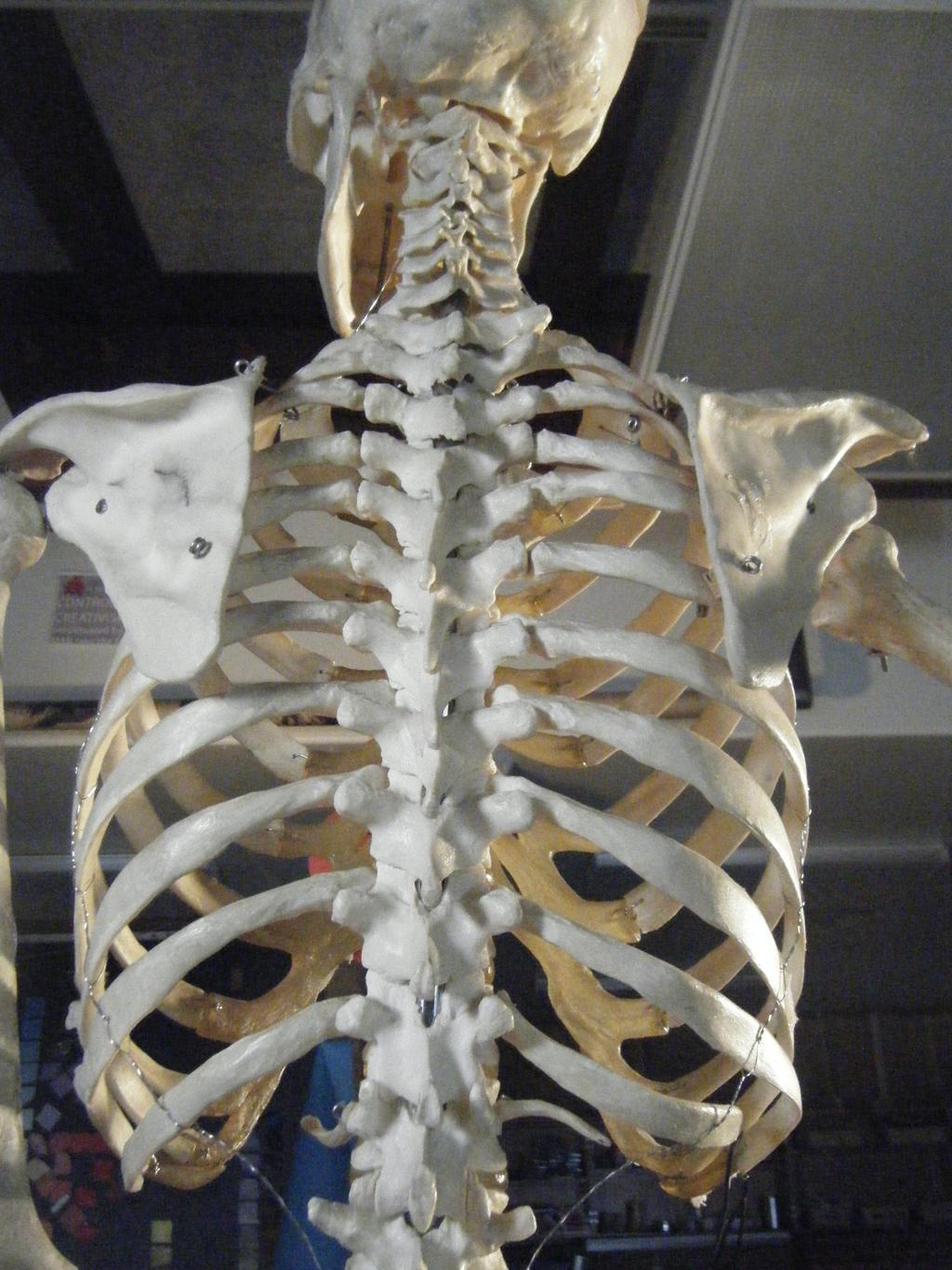Human Skeleton Reference The Back By Golden Wendigo On Deviantart