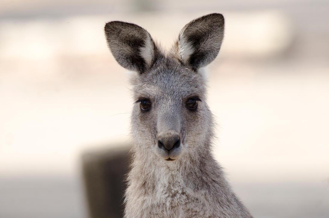 Australian Eastern Grey Kangaroo by DOOMGUY1001