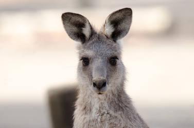 Australian Eastern Grey Kangaroo