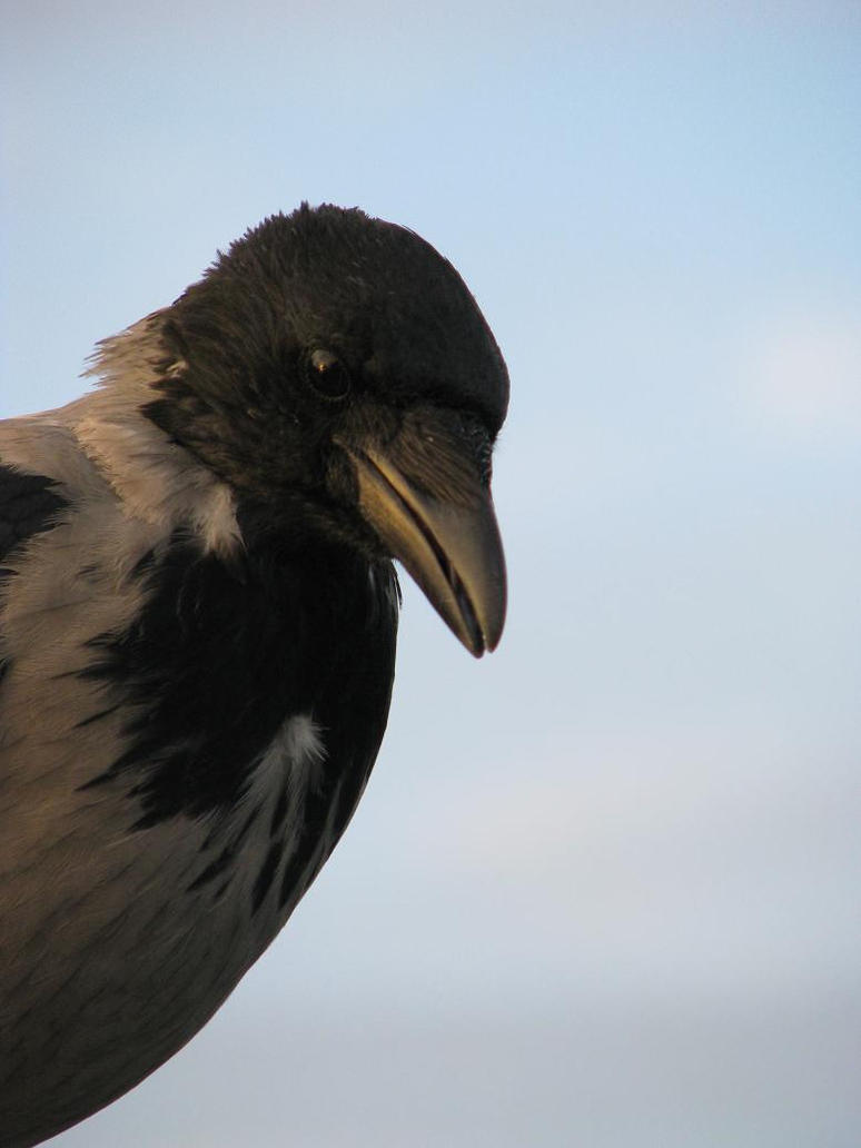 The Hooded Crow by Nuuhku87