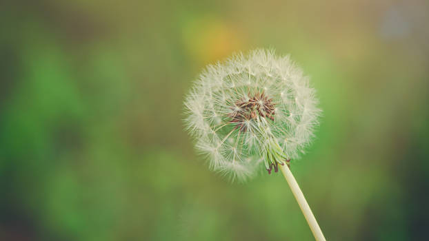 Dandelion Wallpaper - Make A Wish