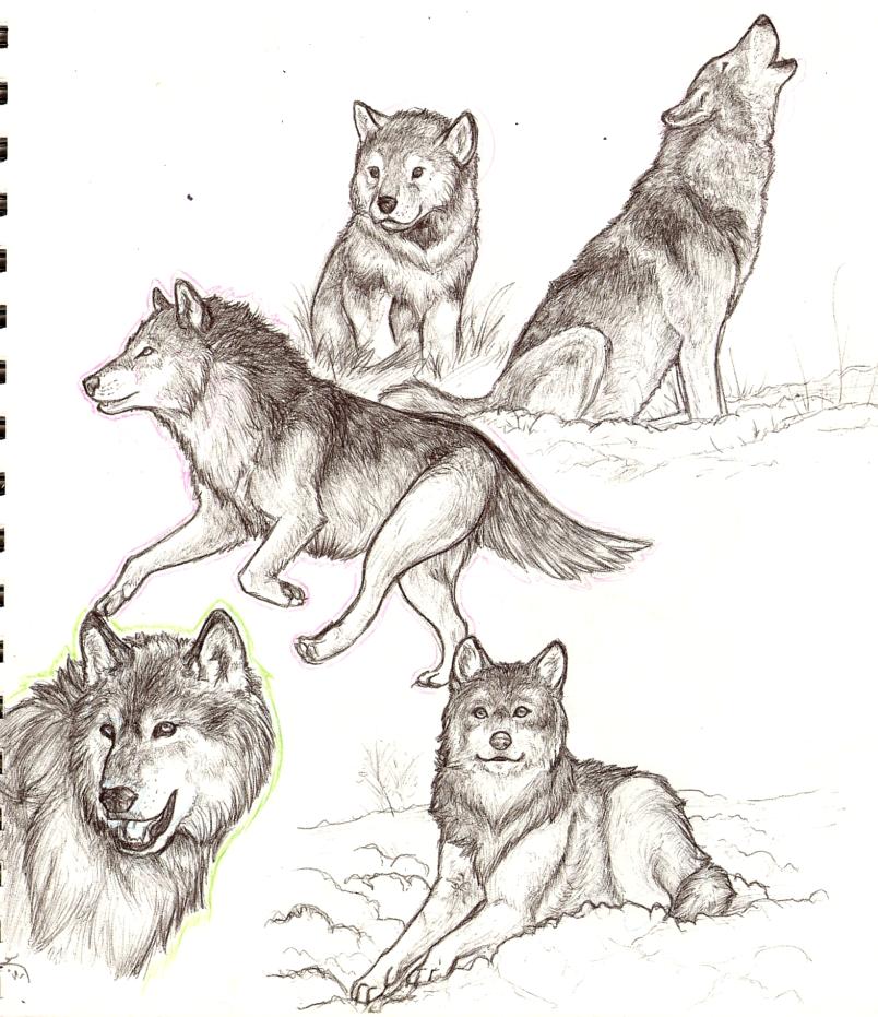 Drawings Of Wolves: Wolf Sketch Art