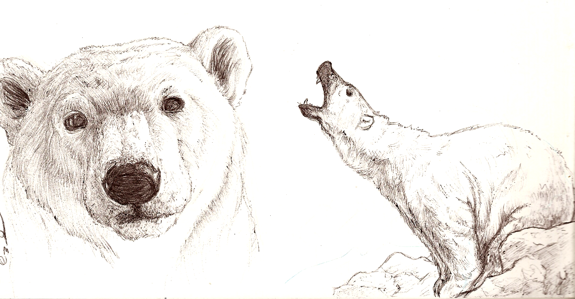 polar bear sketches by kyndrii
