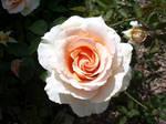 Swirly Pink Rose