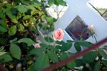 Cecile Brunner Climber - Pink Tea Rose IV