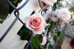 Cecile Brunner Climber - Pink Tea Rose I