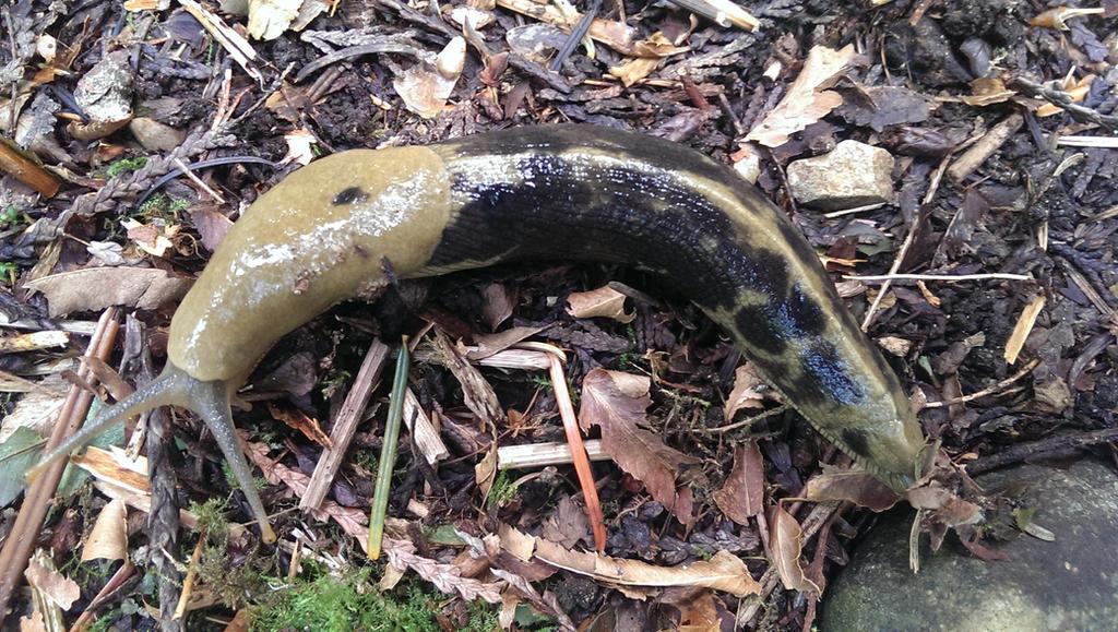 BananaSlug by BrittneyGingerSnap