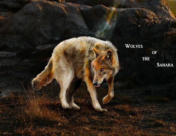 Wolves of The Sahara Desert