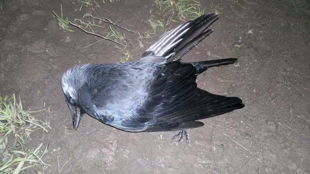 Corvus by Pabllo13
