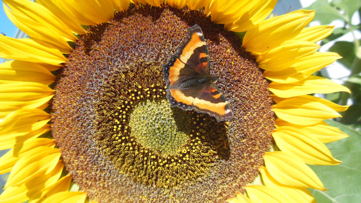Sunflower and Pretty Lady Butterfly by Zuzanna2