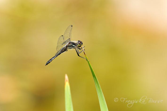 Black dragonfly II by Gambassi