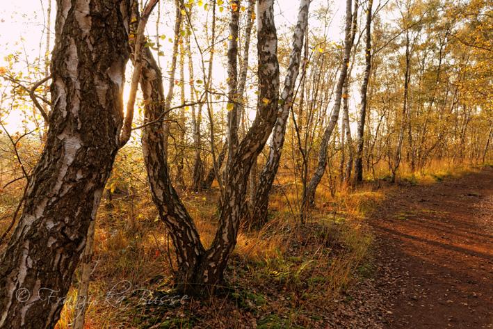 Birches III by Gambassi