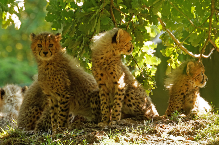 Cheetah cubs by Gambassi