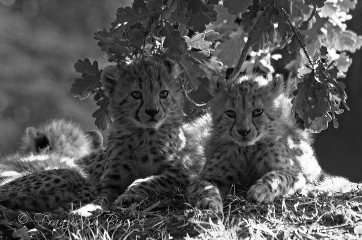 Cheetah cubs II by Gambassi