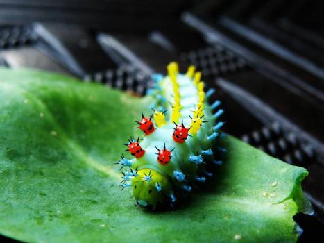 Cecropia Silkworm 1