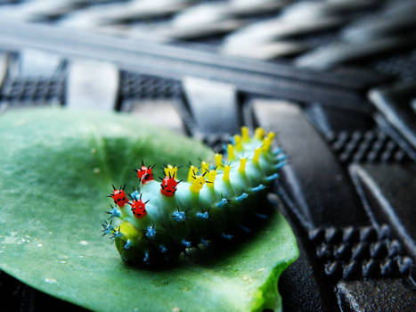 Cecropia Silkworm 2