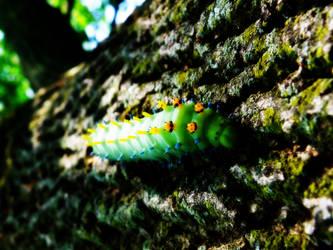 Secropia Silkworm 8-09 2