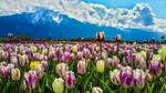 Gentle boys - Tulips by dashakern