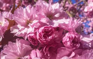 When magnolia blossoms by dashakern