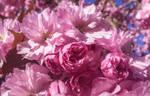 When magnolia blossoms