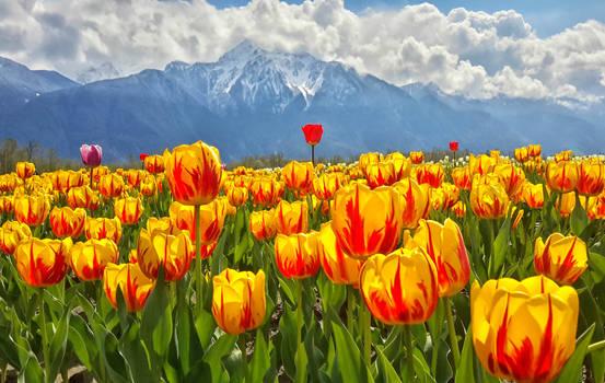 Spring between Tulips