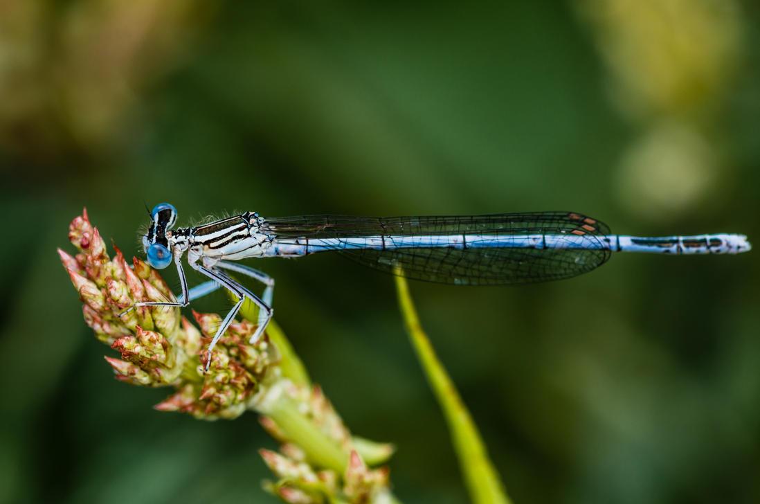Spearhead bluet by Sabiritip