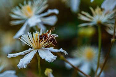 European honey bee on Clematis flowers