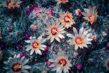 Mammillaria prolifera in full bloom