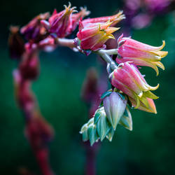 Flowers of echeveria glauca