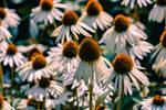 White cornflowers