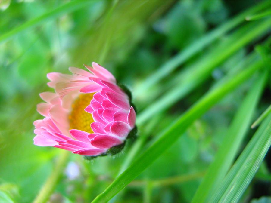 Good morning daisy by Janinnka