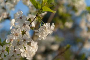Cherry branch 2 by x-log