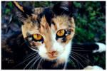 Goldened eyed Calico