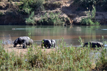 SA DAY 07-Sniffing Hippos by ImLookingForTime