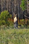 AUS-Wild Red Kangaroo II