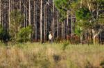 AUS-Wild Red Kangaroo I