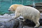 SW-Polar Bear XIX