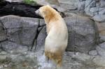 SW-Polar Bear XVIII