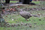 LOUTH-Female Pheasant I