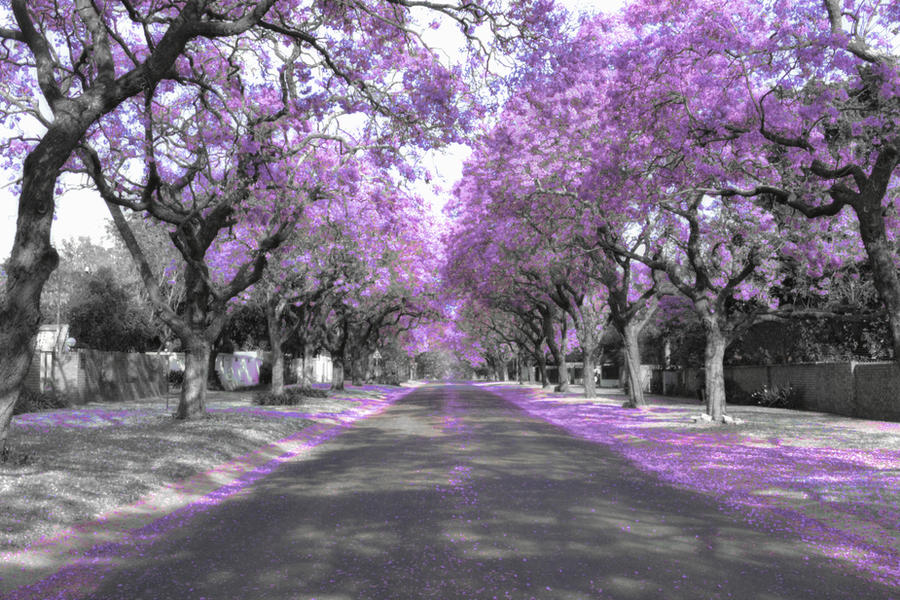 Jacaranda Tree s by sumisukyo  Jacaranda Tree Wallpaper