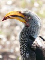 yellow billed hornbill by DCfotografie