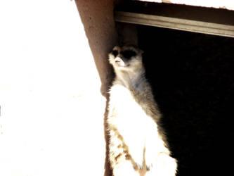 Meerkat Contrast by Synikull