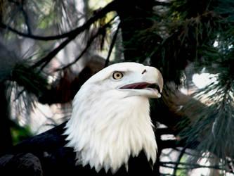 Soft Eagle by Synikull
