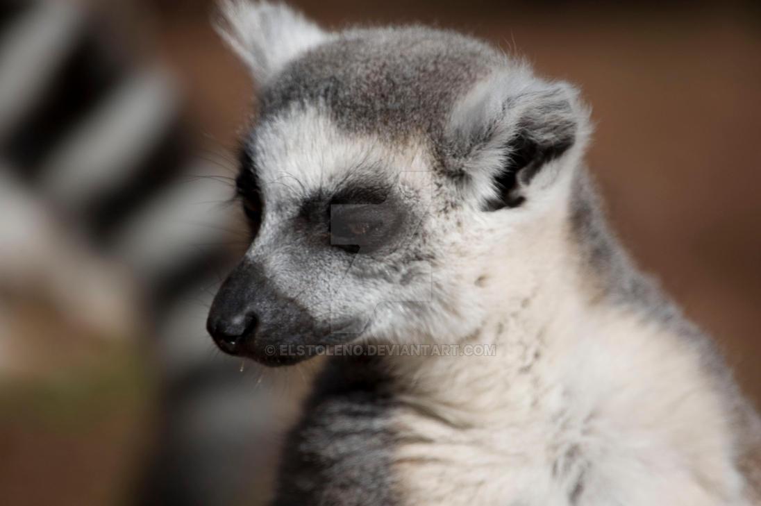 ring tailed lemur 7 by elstoleno on deviantart